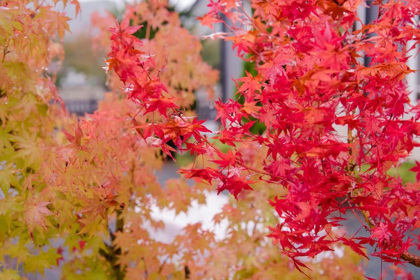 Autumn Change Leaf Beauty In Nature Nature Growth Tree Day Maple Leaf Outdoors No People Maple Tree Fragility Branch Red Close-up Freshness Flower Maple