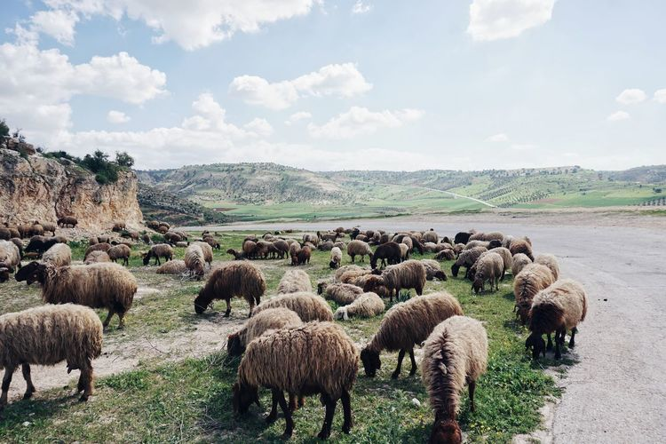 Panoramic view of sheep on field against sky