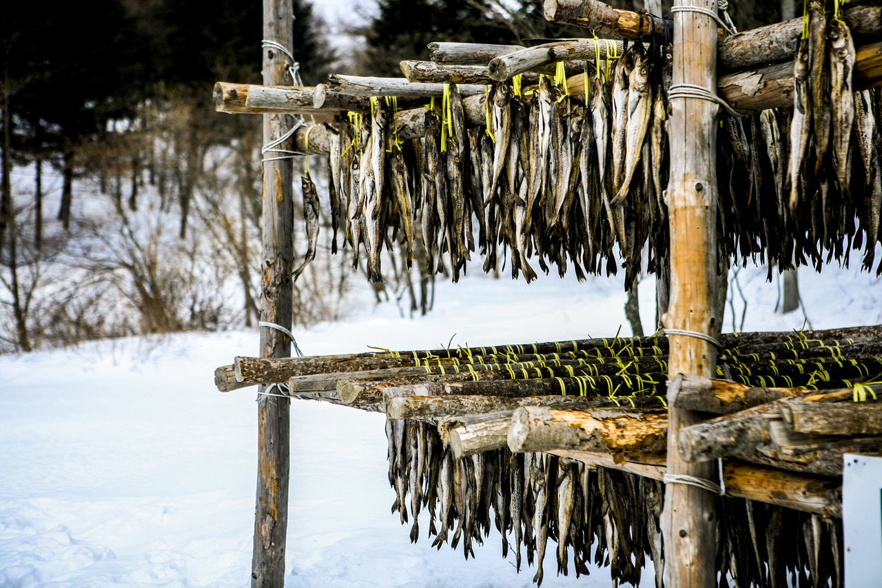 Close-up of fish drying on bamboo on snow covered field