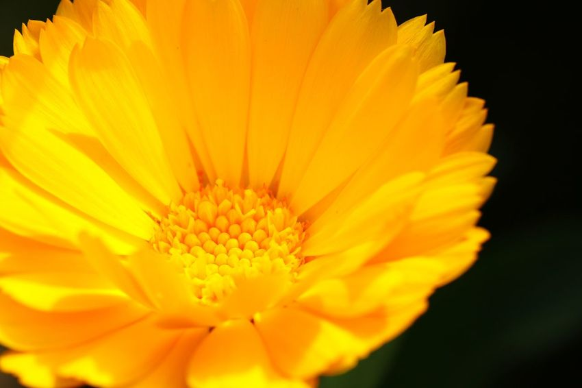 Yellow Flower Yellow Color Yellow Flower Head Flower Yellow Petal Beauty Pollen Macro Close-up Plant Plant Life Botany