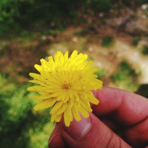 Human Hand Flower Head Flower Yellow Holding Springtime Petal Beauty Human Finger Close-up Blossom Plant Life