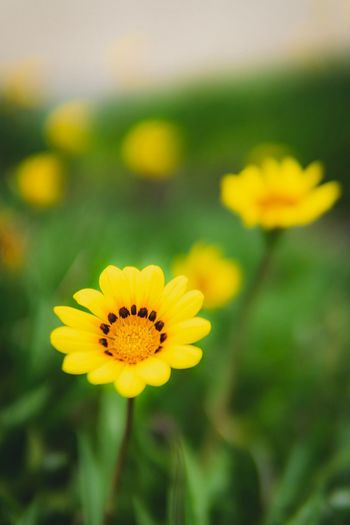 Flower Flowering Plant Yellow Fragility Freshness Plant Vulnerability  Flower Head Beauty In Nature Petal Inflorescence Growth Focus On Foreground Close-up No People Pollen Nature Day Outdoors Field