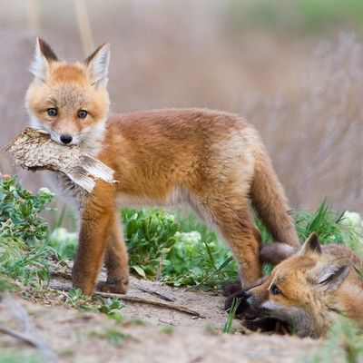 The Fox and the fish. In 2013 I didn't a few days photographing a family of foxes. I have to say it was the most fun! These two had been playing with a dead fish till the little one was too tired and decided to be lazy. Utah Nature Wildlife