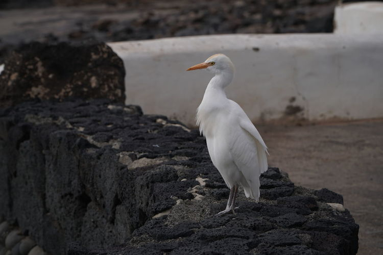James the egret Animal Themes Animals In The Wild Animal Animal Wildlife Vertebrate Bird One Animal Solid Rock - Object Rock Focus On Foreground Perching No People White Color Day Nature Seagull Wall Looking Full Length Lanzarote Animal