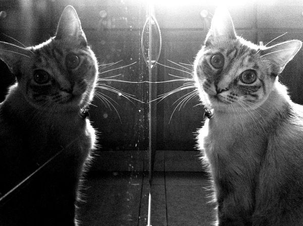Shades Of Grey Reflection Taking Photos Blackandwhite Cat Cute Pets Animals Pets I Love My Cat