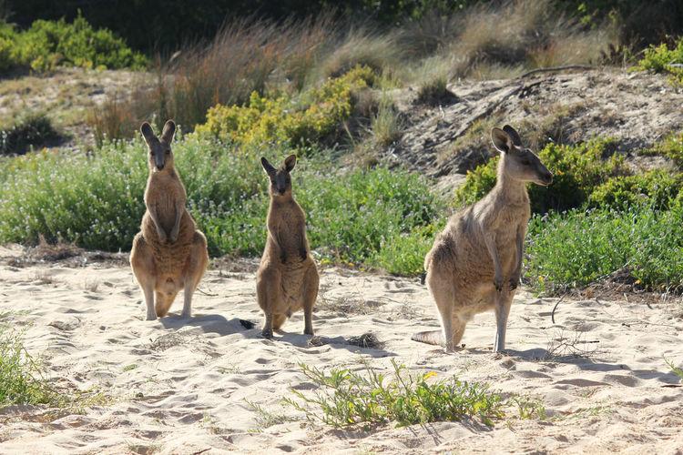 View of kangaroos on shore