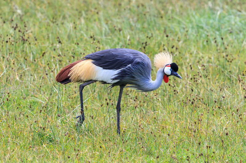 Black crowned crane on grassy field