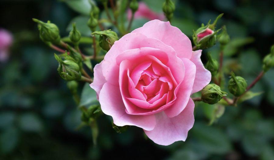 Pink rose#2