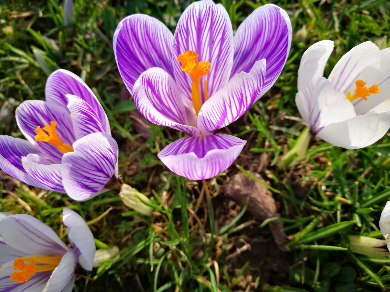flower, petal, growth, plant, nature, flower head, fragility, beauty in nature, freshness, outdoors, day, no people, blooming, close-up, focus on foreground, field, purple, crocus, flowerbed