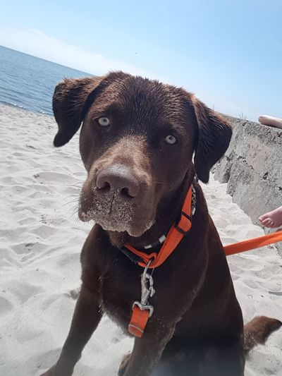 Sandy dog at the beach Brownlab Labrador Wateraddict Beachlife Happydog Dog Beach Sand One Animal Day Portrait Water Sea Sitting Nature Sky Pets