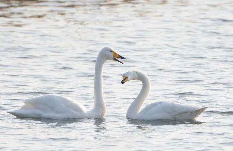 Animal Themes Animal Wildlife Animals In The Wild Animal Bird Vertebrate Water Swan Swimming Mute Swan