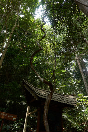 Branch Day Growth Jungle Liana Low Angle View Nature No People Outdoors Tree