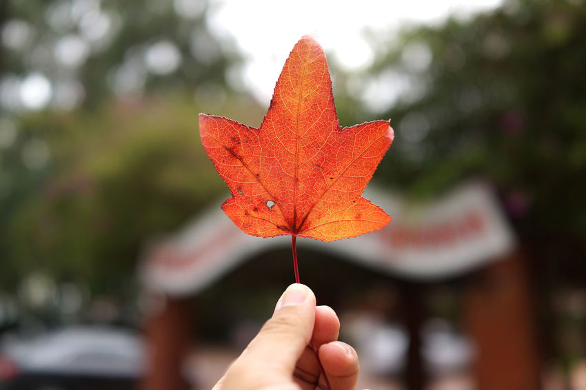 Maple leaf Autumn Autumn Collection Body Part Change Close-up Day Finger Focus On Foreground Hand Holding Human Body Part Human Finger Human Hand Leaf Leaves Maple Leaf Natural Condition Nature One Person Outdoors Personal Perspective Plant Part Real People Unrecognizable Person