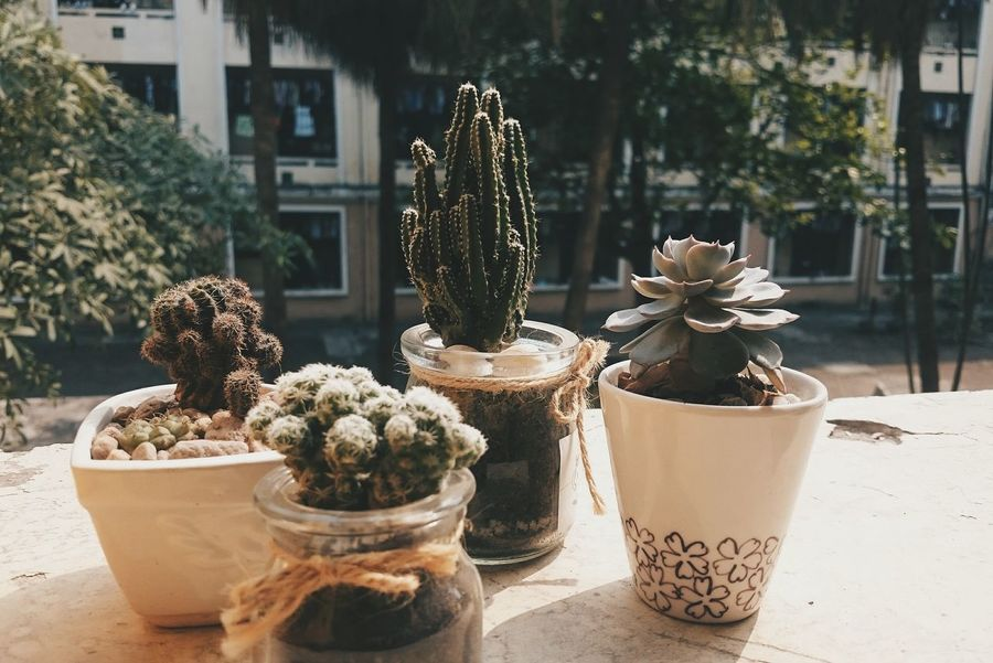 Potted Plant Tree No People Table Plant Day Outdoors Nature Close-up Cactus Growth Plant Nature_collection Best EyeEm Shot Grass Lovely Nature On Your Doorstep Photography Color Of Life! VSCO Vietnam Colourful Hanoi Vietnam  Tree Sunlight