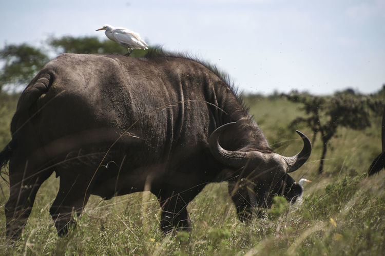Buffalo with an Egret hitching a ride on its back Nairobi Kenya Egret Cape Buffalo Buffalo Outdoors Horned No People Day Land Nature Grass Sky Plant Field Animals In The Wild Mammal Animal Wildlife Animal Animal Themes My Best Photo