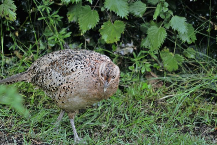 Female Pheasant Pheasant Animal Animal Themes Animal Wildlife Animals In The Wild Bird Day Grass Green Color Land Nature No People One Animal Outdoors Pheasants Forever ~ Plant Vertebrate