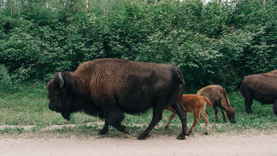 Cattle grazing on field