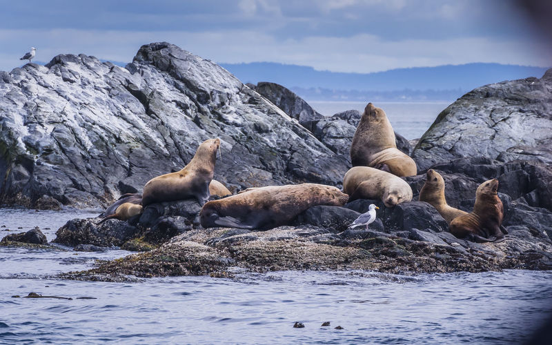 Sea Lions Relaxing On Rock By Sea Against Sky