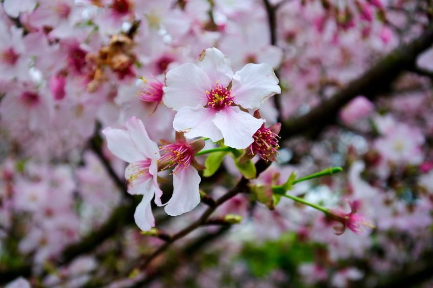 Beauty In Nature Blooming Blossom Blossoming  Branch Pink Cherry Blossoms Cherry Blossom Cherry Blossom Tree Cherry Blossoms Close-up EyeEm Best Shots Flower Flower Head Focus On Foreground Fragility Freshness Growth In Bloom Nature Petal Pink Color Pink Flowers Springtime Twig Urban Spring Fever