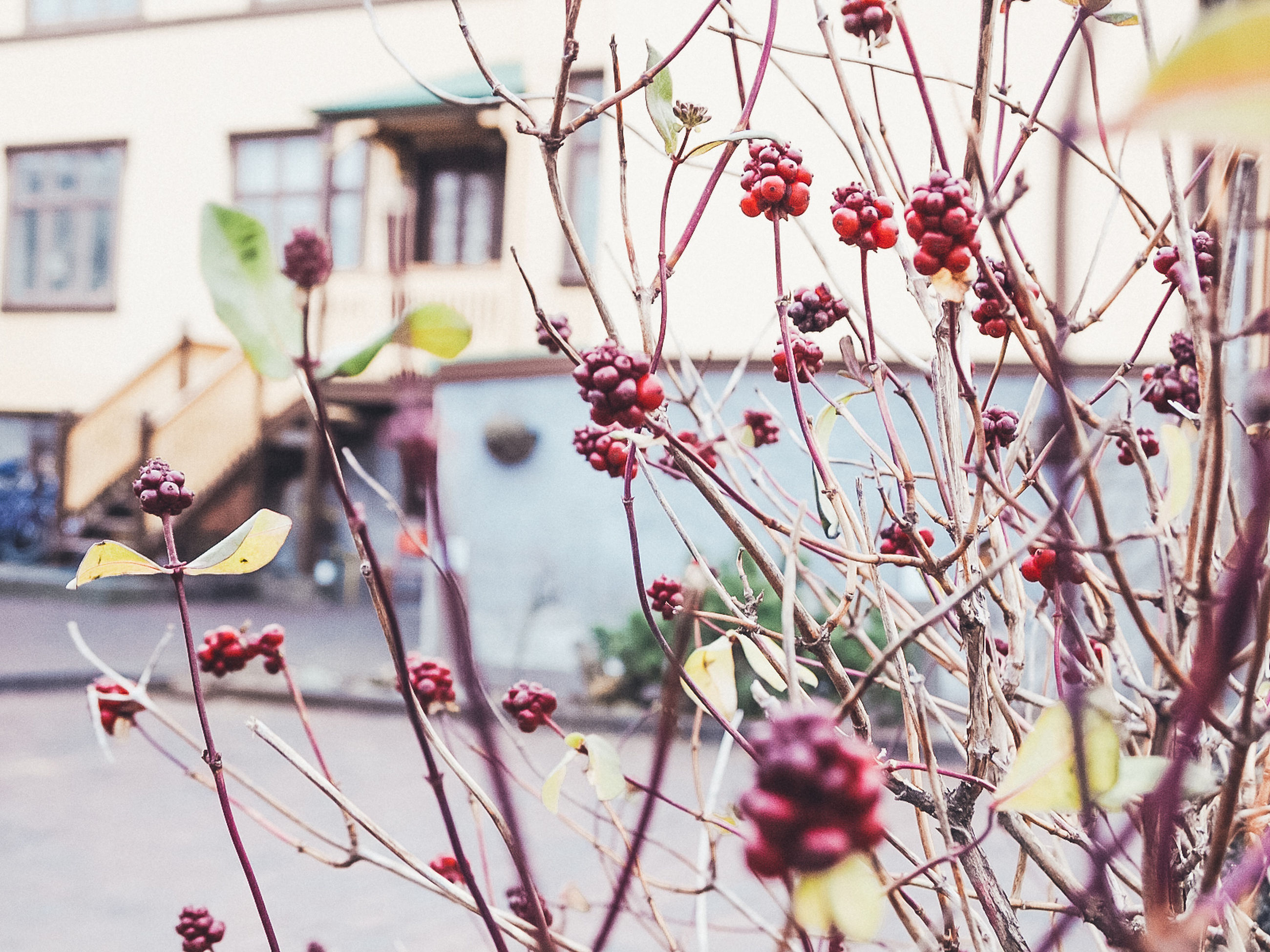 plant, tree, branch, growth, flower, focus on foreground, flowering plant, nature, day, building exterior, built structure, freshness, architecture, close-up, beauty in nature, no people, outdoors, fruit, selective focus, food and drink