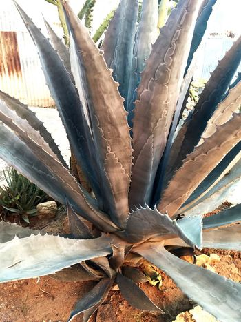Tequila Plant - El agave Valle De Guadalupe BC Agave Plant