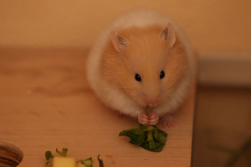 Our Hamster Taja Hamster Love Hamsters Animal Animal Themes Animal Wildlife Close-up Domestic Domestic Animals Eating Focus On Foreground Food Food And Drink Hamster Indoors  Mammal No People One Animal Pets Rodent Selective Focus Vertebrate Whisker Wood - Material