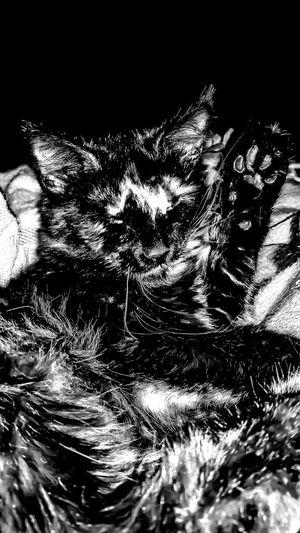 Blackandwhite Photography Cat Lazy Cat Waving Hello Waving Motion Paw Cat Paw Cat Photography Hello Furfamily Furbaby Animal Lover Ears Fur Family Sweet Kitty  My Cat Close-up Animal Pets Cat Grooming Grooming Eyes Shut Domestic Animals