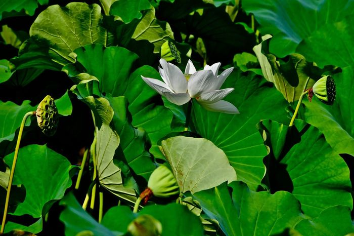 Subject : A Full-Blown White Flower of a Lotus Growing in the Pond. Leaf Growth Green Color Nature Beauty In Nature Petal Flower Plant Freshness Fragility No People Blooming Outdoors Day Flower Head Close-up . Taken at Kurose in Higashi-Hiroshima , Japan on Aug. 13, 2017 ( Submitted on Aug. 21, 2017 )