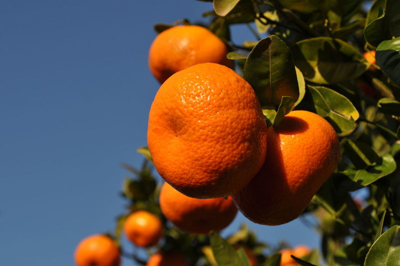 Low angle view of orange fruits growing on tree against sky