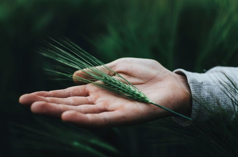 Close-up of cropped hand with wheat