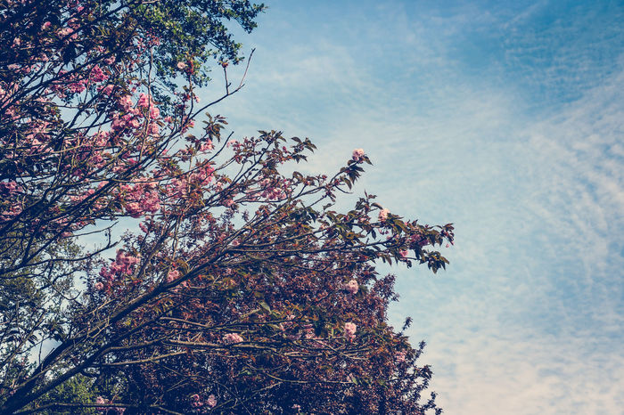 Kirschblüten Beauty In Nature Branch Cloud - Sky Day Flower Flowering Cherry Fragility Freshness Growth Kirschbaumblüten Low Angle View Nature No People Outdoors Sky Spring Sunlight Tree