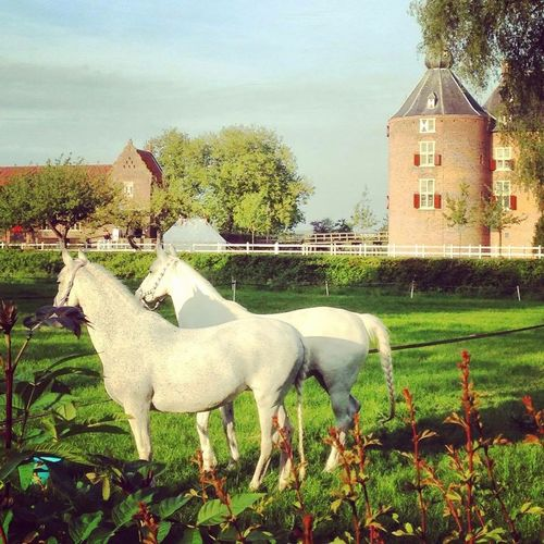 Horse Horses Likeadream Fairytale  Holland Thenetherlands Castle Ammersoyen almost like Unicorn s