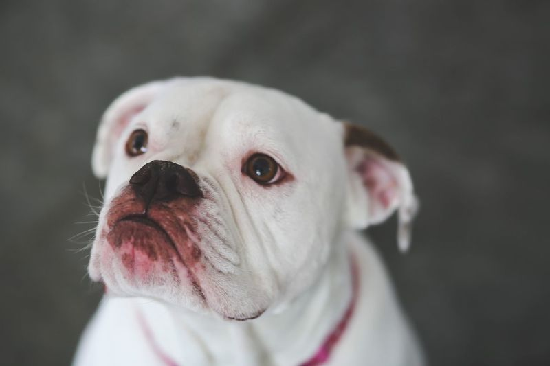 American Bulldog Canine Dog One Animal Animal Themes Pets Mammal Animal Domestic Domestic Animals Close-up Animal Body Part Looking Away Portrait Animal Head  Focus On Foreground English Bulldog No People