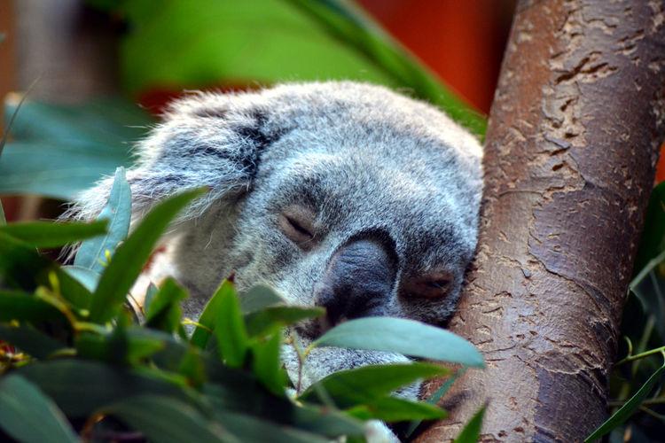 Close-up of koala sleeping on tree branch