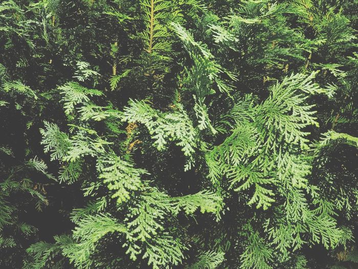 Nature Growth Tree Green Color Backgrounds Beauty In Nature Leaf Lush Foliage No People Full Frame Plant Branch Day Outdoors Close-up