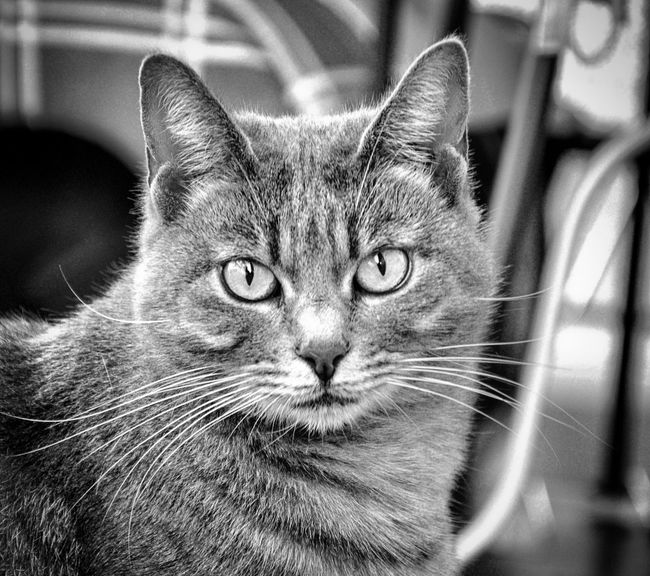 Pets Domestic Cat Domestic Animals One Animal Animal Themes Mammal Feline Indoors  Whisker Portrait No People Looking At Camera Close-up Day Pet Portraits