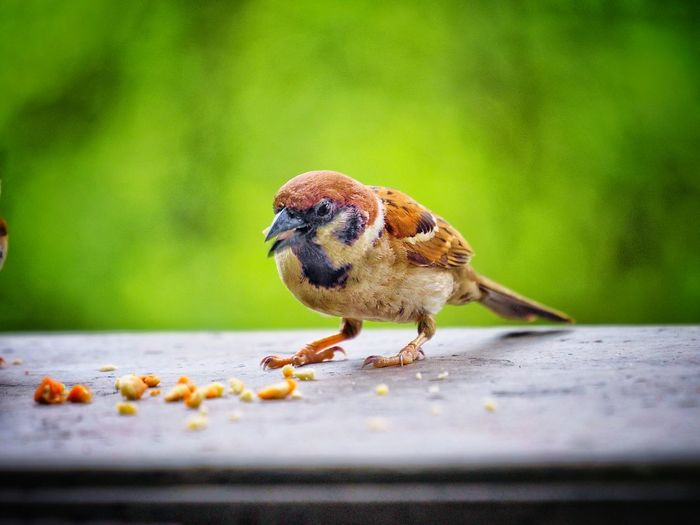 Sparrow Feeding  Feeding The Birds Enjoying Life Close-up Selective Focus Bokeh Green Color EyeEmNewHere EyeEm Best Shots EyeEm Nature Lover EyeEm Gallery EyeEm Selects EyeEmBestPics EyeEm Best Shots - Nature Appreciating This Moment Thank You My Friends 😊 Shallow Depth Of Field Wildlife & Nature Animal Wildlife Nature Animals In The Wild One Animal Looking At Camera Perching Full Length Bird Portrait Close-up Animal Themes