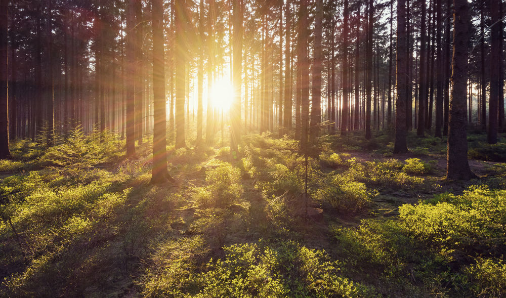 Sun shines explosiv in to the deep forest Needlewood Shadows & Lights Summer Views Summertime Sunrays Wilderness Area Beauty In Nature Beauty In Nature Branch Day Deep Woods Forest Growth Nature No People Outdoors Scenics Sunlight Sunrise Sunset Tranquil Scene Tree Tree Area Tree Trunk WoodLand