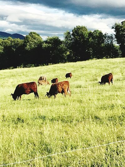 hillside grazing Mammal Plant Animal Themes Group Of Animals Domestic Pets Animal Field Grass Land Livestock No People Agriculture Landscape Sky Nature Cloud - Sky