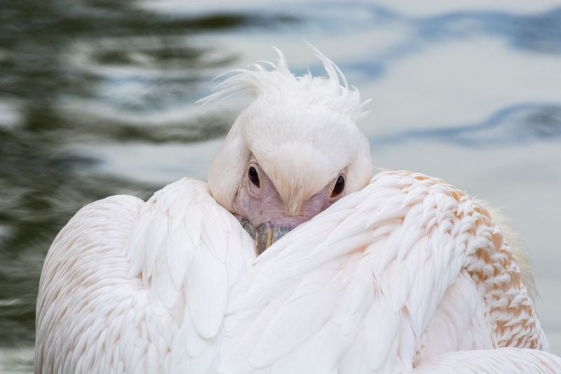 Close-up of pelican on water
