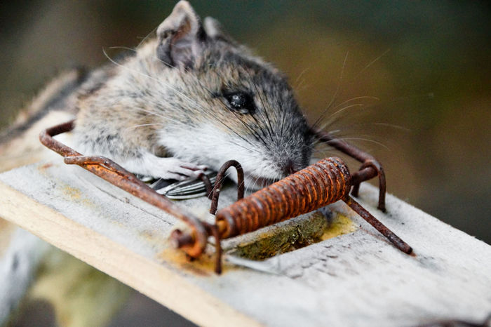 Mouse Mousetrap Trapped Trap Dead Dead Animal Dead Mouse Household Equipment Pest Rat Rats Wrecker Wrecked Wreck Protection Matchstick Safety Burnt Pitfall Rodent Rodents Mammal Animal Themes Animals In The Wild