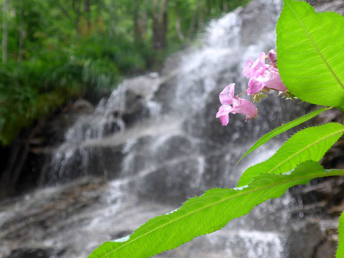 Impatiens Glandulifera Beauty In Nature Close-up Flower Flowering Plant Flowing Flowing Water Growth Leaf Nature Plant Waterfall
