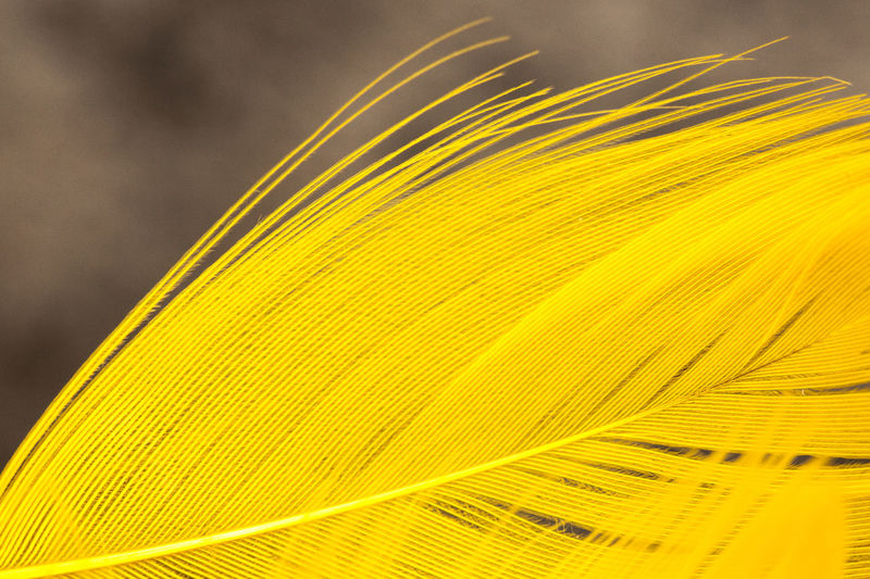 Close-Up Of Yellow Feather