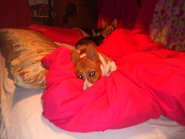 Pembroke Welsh Corgi Puppy Cute Pets Dog Portrait Red Animal Themes