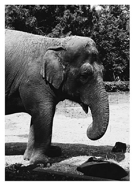 Animals Animaux Elephant Zoo Travel Blackandwhite Young And Free