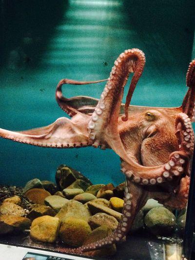 たこ 水族館 大洗 Octopus