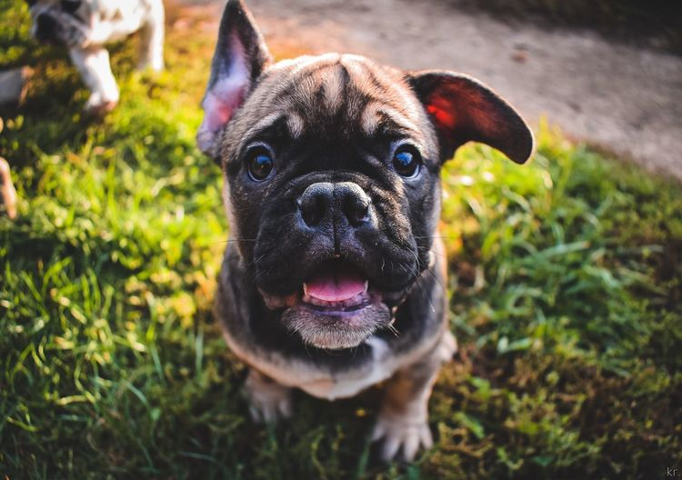Frenchie. cute cutie animal animal themes animal photography Pet Portraits Portraits Of EyeEm Portraits Cute Cutie Animal Animal Themes Animal Photography Pet Tongue Out Tongue Humansbestfriend Colours Colors Puppy Bullie Bulldog Frenchbulldog Frenchie Dog Animal Themes Domestic Animals Pets One Animal Looking At Camera Portrait Grass Focus On Foreground No People Outdoors Sticking Out Tongue