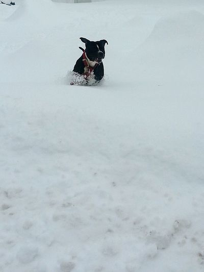 My Winter Favorites Playing Dogs Running Pitbull Blue Pittbull Snow Enjoying Life Taking Photos Capture The Moment Capturing Movement Having Fun Catching Snowballs Snowball Hanging Out Happy & Cheerful Photos By Jeanette It's Cold Outside Welcome To Black