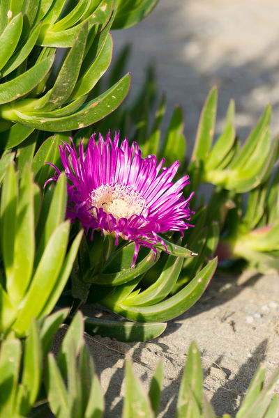 Beauty In Nature Blooming Botany Bud Close-up ICE PLANT Flower Flower Head Focus On Foreground Fragility Freshness Green Color Growing Growth In Bloom Iztuzu Leaf Nature Outdoors Petal Pink Color Plant Purple Stem Water Lily