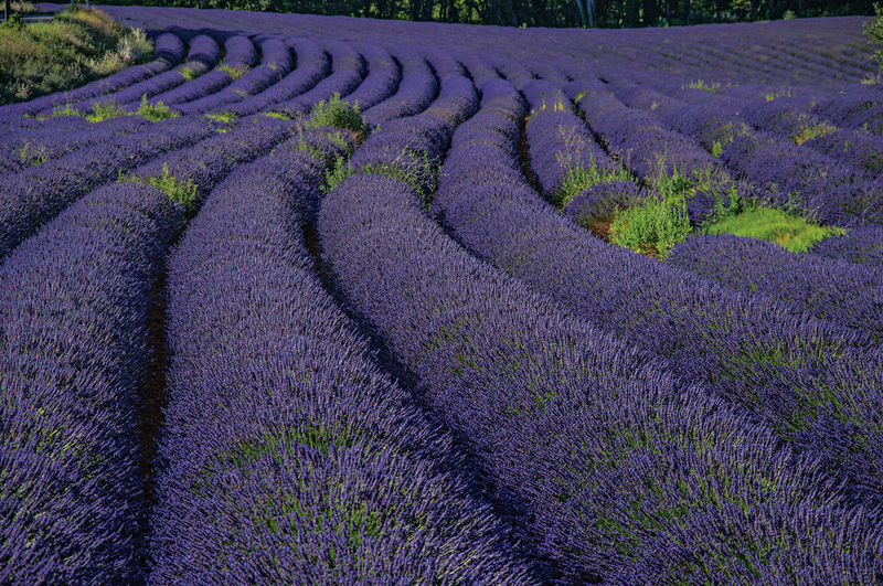 View of lavender growing on field